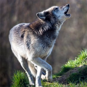 Oregon wolf advocates angry