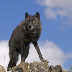 More wolves released in Arizona