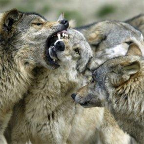 Idaho wolves kill hunting dogs