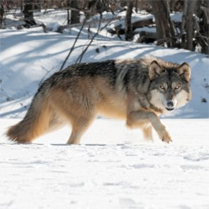 There will be no wolves in Colorado