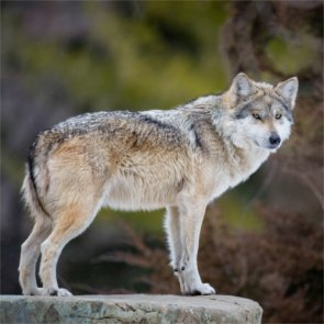 RMEF supports decision to delist Oregon wolves