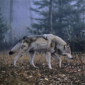 Kill more wolves near Yellowstone?