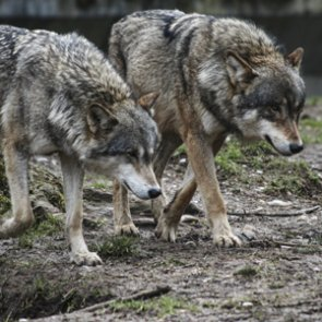 Wolves to lose federal protections