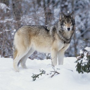 No change in wolf protection status