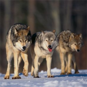 Oregon wolf population grows