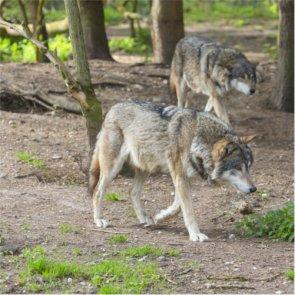 Wisconsin wolves kill 17 sheep