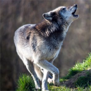 Are wolves on the rise in Colorado?