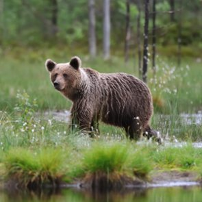 Grizzly bear spotted in Wyoming black bear territory