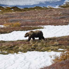 Grizzly delisting questioned by federal judge