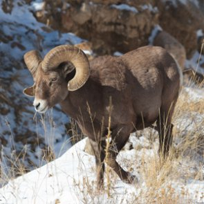 Pack goat users and Forest Service come to compromise on pack goat use in Wyoming bighorn habitat