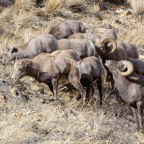 Hunting bighorn ewes may boost ram potential