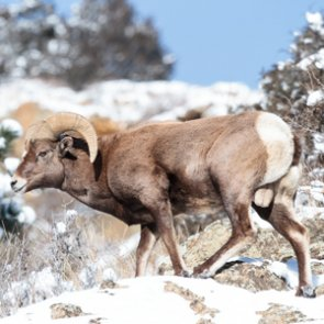 Wyoming considers bighorn sheep relocation