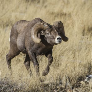 Wyoming worries over Whiskey Mountain bighorn sheep