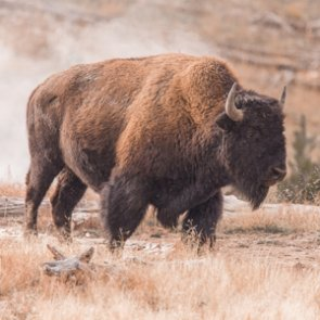 Wyoming announces bison hunt on North Fork