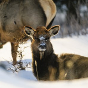 Wyoming confirms CWD in Elk Hunt Area 1