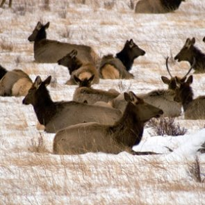 CWD confirmed at National Elk Refuge