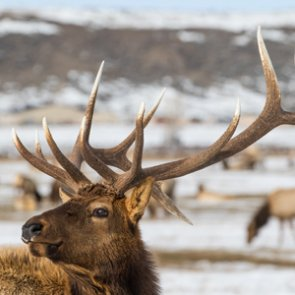 Judge overrules Forest Service decision to allow Wyoming use of federal site to feed elk