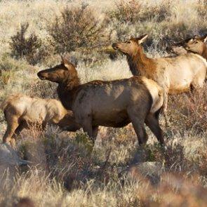 Wyoming adds 2,000 tags to upcoming elk season