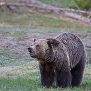 Wyoming lawmakers reintroduce legislation to delist grizzlies
