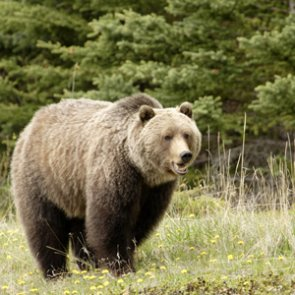 Wyoming steps closer to finalizing grizzly bear hunt regulations