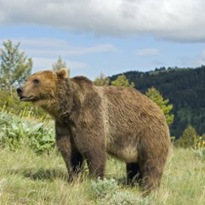 Wyoming deflects negative comments aimed at grizzly bear hunt