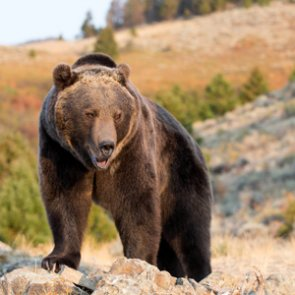 Wyoming proposes grizzly bear hunt regulations