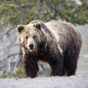 Wyoming may release grizzly management plan soon
