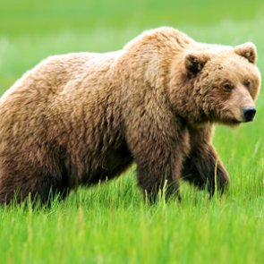 Over 7,000 apply for Wyoming grizzly bear hunt