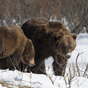 Three grizzly bears euthanized in Wyoming