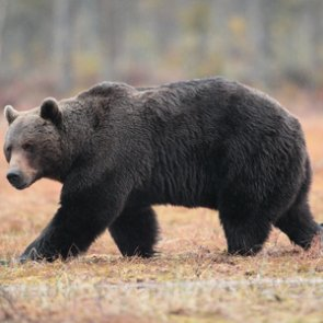 Wyoming to close areas spring through fall to monitor grizzly bears