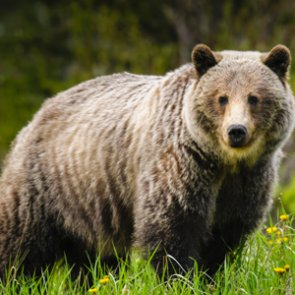 Wyoming close to approving grizzly hunt regulations
