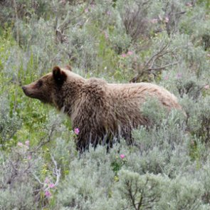 Too many grizzly bear viewers prompt changes along U.S. Highway 26