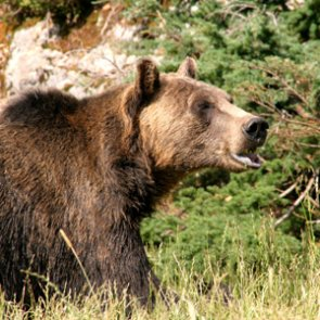 Judge restores federal protections to grizzly bears