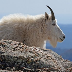 Controversial mountain goat cull begins in Grand Teton