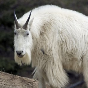 Grand Teton mountain goats to be removed to save bighorn sheep