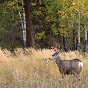 Mule deer numbers decline in Wyoming
