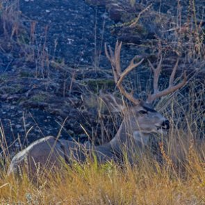Muley Fanatic Foundation donates funds toward wildlife crossing