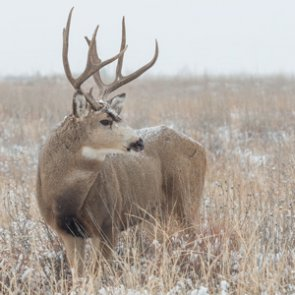 2015 Wyoming mule deer poaching case solved
