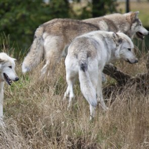 Wyoming approves 4 month wolf season