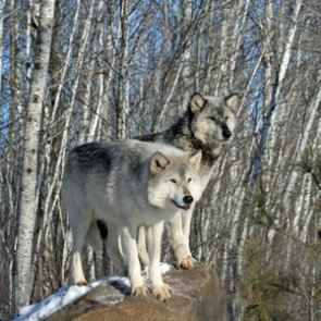 Nearly half of Wyoming wolf quotas still unfilled