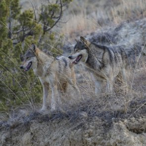 Wyoming wolf opener a success
