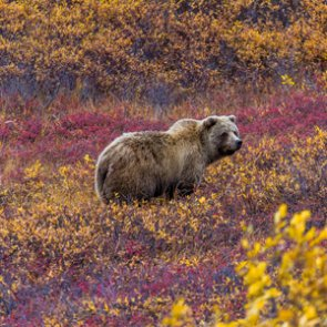 NRA and SCI unite in push for grizzly hunts
