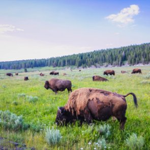Yellowstone bison cull removes 1,200 animals