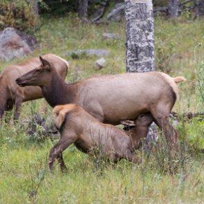 Elk calving season is on deck Yellowstone