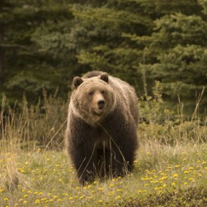 Yellowstone-area grizzly deaths increase ahead of hunting season