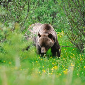 "Grizzly bear known as ""Scarface"" killed in self defense"