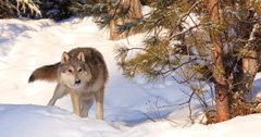 SCI raises funds to combat Colorado wolf ballot initiative