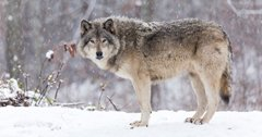 Colorado moves forward with wolf reintroduction
