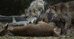 Are wolves a solution to CWD? — some wolf advocates think so