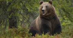 Tribes ask for permanent protections for grizzly bears